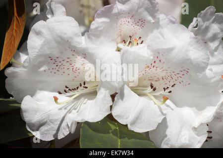 Close up of the white April flowers of Rhododendron campanulatum - Stock Photo