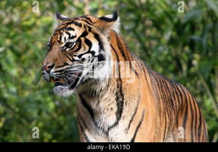 Sumatran tiger (Panthera tigris sumatrae) in closeup - Stock Photo