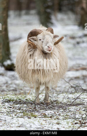 Skudde in winter, smallest German heath sheep breed, Germany, Europe / Ovis ammon f.aries - Stock Photo