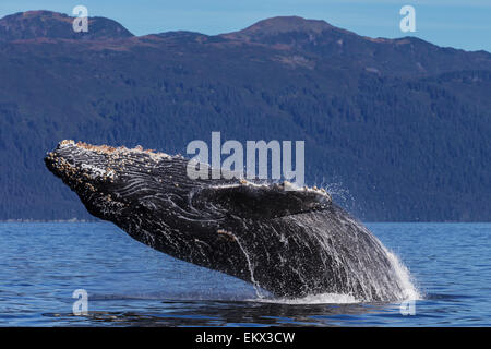 A young Humpback Whale leaps from the calm waters of the Stephens Passage near Tracy Arm, Southeast Alaska, USA. - Stock Photo