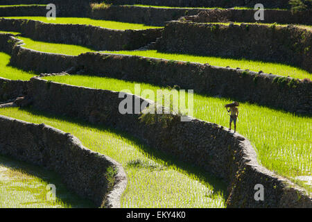 A Farmer Walks Along The Famous Rice Terraces; Batad Northern Luzon Philippines - Stock Photo
