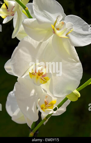 White orchid flowers sometimes called 'Moth' orchid. Phalaenopsis hybrid - Stock Photo