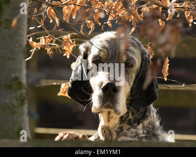 Pedigree, English Setter Dog, male, Tri- colour show dog,Blue Belton and Tan, looking over a wall, next  to a beech - Stock Photo