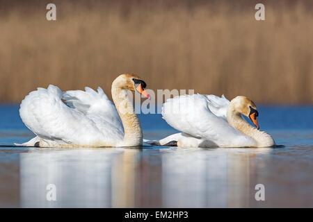 Mute swan (Cygnus olor) couple, courtship, Middle Elbe Biosphere Reserve, Saxony-Anhalt, Germany - Stock Photo