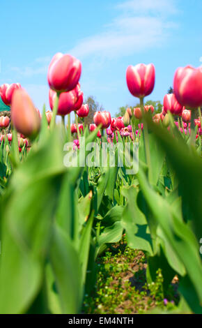 Beautiful tulips in the garden, springtime - Stock Photo