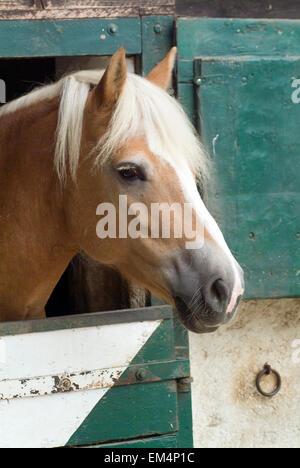 Horse(Equus ferus caballus)  looking out of his box - Stock Photo