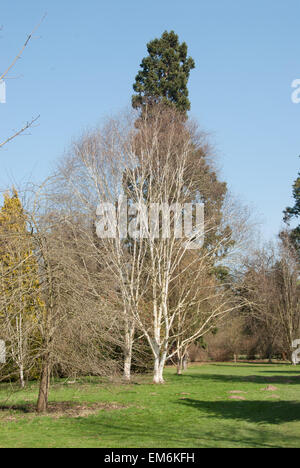 Two specimens of Betula utilis var. jacquemontii  in the grounds of Langley Park, Buckinghamshire - Stock Photo