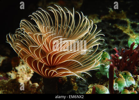 Close-Up Of Feather Duster Worm; Indonesia - Stock Photo