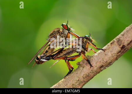 Manado, Indonesia. 23rd Mar, 2013. The robber fly Asilidae are family, Also called assassin flies mating. The 17,000 - Stock Photo