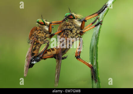 Manado, Indonesia. 20th Aug, 2012. The robber fly Asilidae are family, Also called assassin flies mating. The 17,000 - Stock Photo