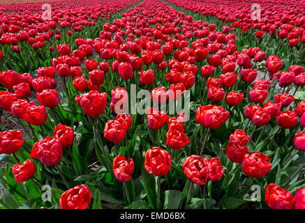 Spring time in The Netherlands: Typically flat countryside and view on flowering bright red tulips, Lisse, South - Stock Photo
