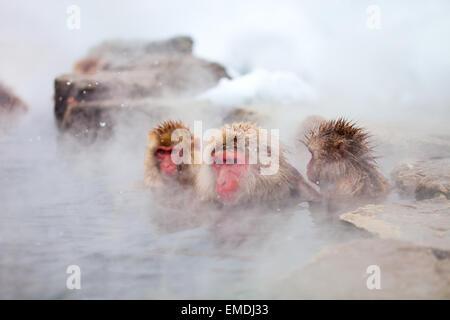 Snow Monkeys - Stock Photo