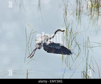 Great Blue Heron Fishing In Florida Wetlands - Stock Photo