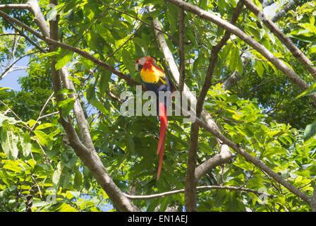 Scarlet Macaw, national bird of Honduras, Copan, Honduras - Stock Photo