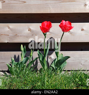 red tulips in grass near wooden fence in sunny wheather - Stock Photo