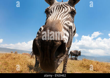 Plains Zebra (Equus quagga) grazing on the plain in the Ngorongoro crater, from groundlevel, close up looking into - Stock Photo