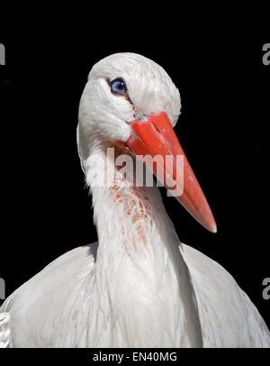 White Stork (ciconia ciconia) - Stock Photo