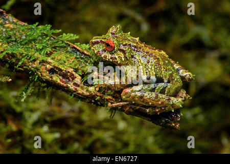 Mossy rainfrog (Pristimantis eriphus), male with characteristic red eyes, Andean cloud forest, Cosanga, Ecuador - Stock Photo
