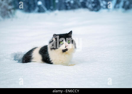 Black and white Cat walks in snow - Stock Photo
