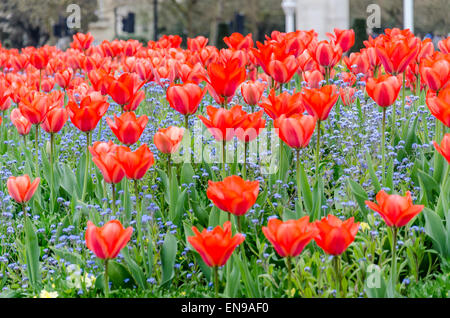 Red tulips in St James's Park, London, UK - Stock Photo