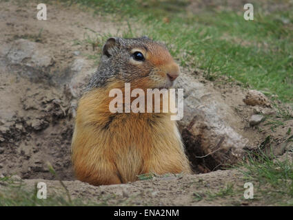 Columbian Ground Squirrel (Urocitellus columbianus) making its home in Barkerville, the 1860's gold rush town in - Stock Photo