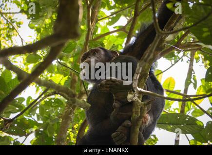 Chimpanzee (Pan troglodytes) in a tree in Kibale National Forest Park, Uganda - Stock Photo