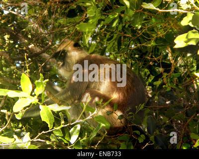 Tufted grey langurs (Semnopithecus priam), Polonnaruwa, North Central Province, Sri Lanka, Asia - Stock Photo