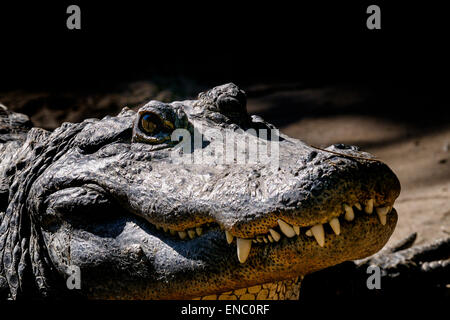 alligator mississippiensis, american alligator - Stock Photo