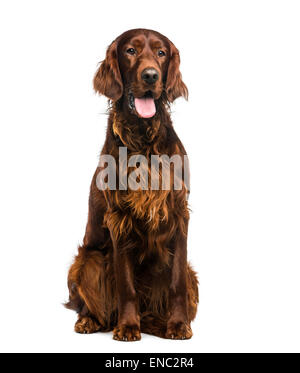 Irish Setter (2 years old) in front of a white background - Stock Photo