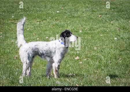 A female English setter on point. - Stock Photo