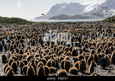 Adult and juvenile king penguins (Aptenodytes patagonicus), at breeding colony at Salisbury Plain, South Georgia, - Stock Photo