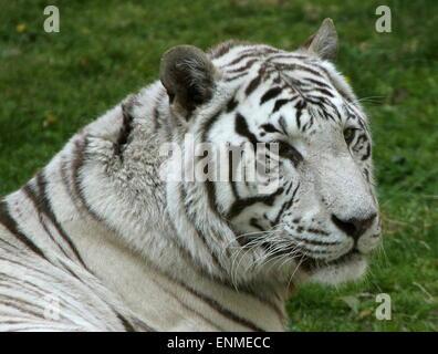 Female White Bengal tiger (Panthera tigris tigris) closeup of the head - Stock Photo