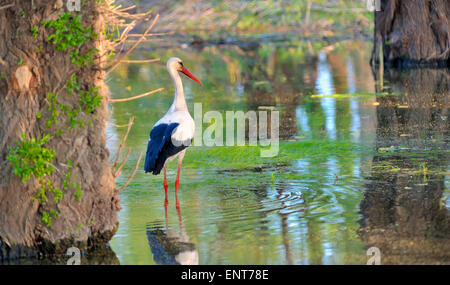 White stork (Ciconia ciconia) hunting - Stock Photo