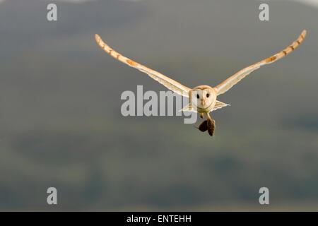 Barn Owl (Tyto alba) in flight carrying its prey, Dumfries and Galloway, Scotland, UK - Stock Photo