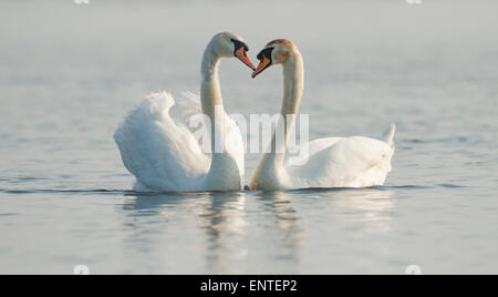 Mute Swans (Cygnus olor) on the River Doon in Ayr, Scotland, UK - Stock Photo