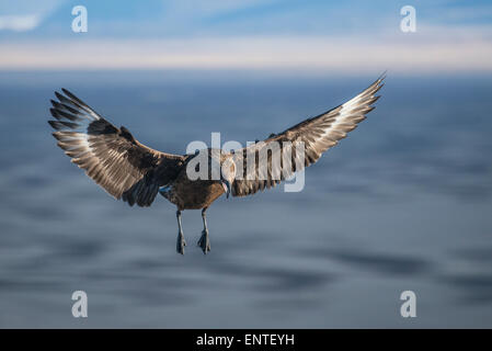 Arctic Skua in flight, Ingolfshofdi Cape, Iceland - Stock Photo