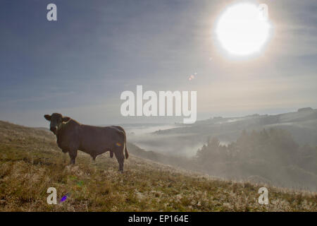 Domestic cattle. Charolais bull standing on a hillside on a misty morning. On an Organic farm in the Welsh hills. - Stock Photo