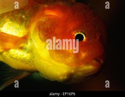 Lionhead Goldfish, Carassius auratus, Ciprinidae - Stock Photo