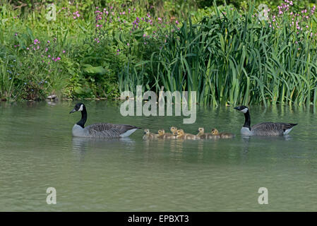 Male and Female Canada Geese-Branta canadensis swim with Goslings. Spring. Uk - Stock Photo