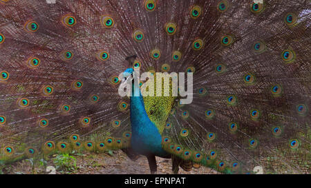 A proud peacock spreads its feathers - Stock Photo