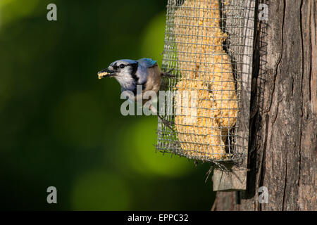Adult Blue Jay perched on a tree mounted suet feeder. - Stock Photo