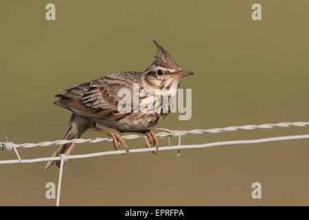 Crested Lark (Galerida cristata) on a barbed wire fence - Stock Photo