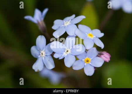 Wood Forget-me-not (Myosotis sylvatica) flower - Stock Photo
