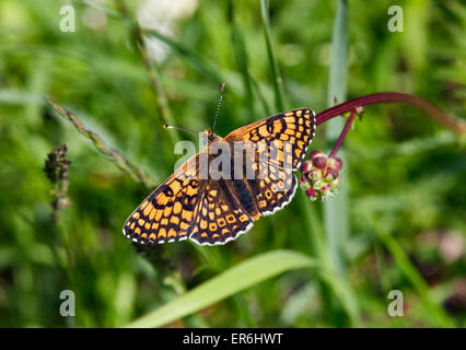 Glanville Fritillary perched on a flower bud. Hutchinson's Bank Nature Reserve, New Addington, Surrey, England. - Stock Photo