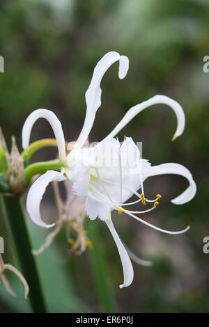 Hymenocallis narcissiflora. Peruvian daffodil. Basket flower. Lily Basket - Stock Photo