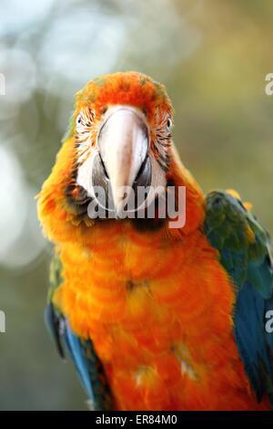 hybrid macaw - Stock Photo