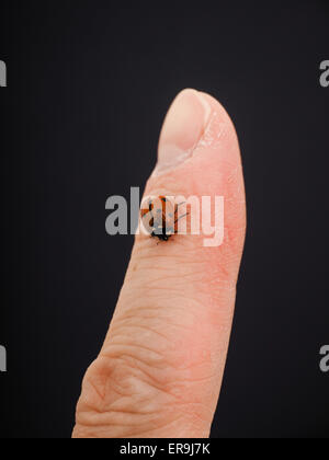 Ladybird walking downwards on a finger isolated towards black background - Stock Photo