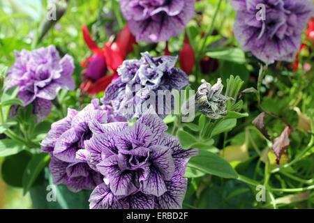 Petunia double Mauve Priscilla growing in hanging basket - Stock Photo