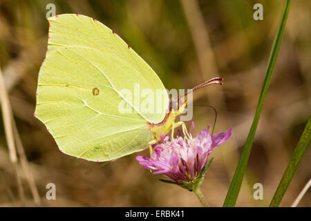 brimstone butterfly (Gonepteryx rhamni) adult feeding on flower, England United Kingdom - Stock Photo