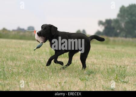 retrieving Labrador Retriever - Stock Photo